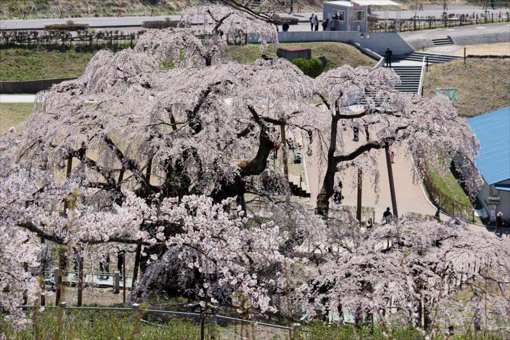 滝桜_12
