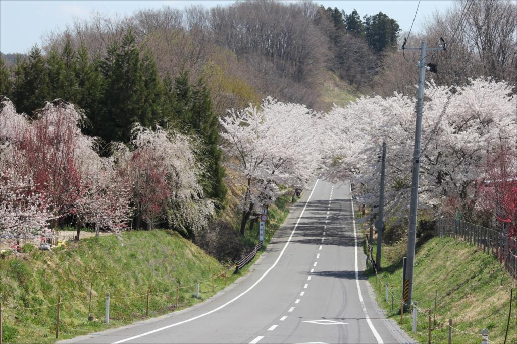 仮設住宅近くの桜
