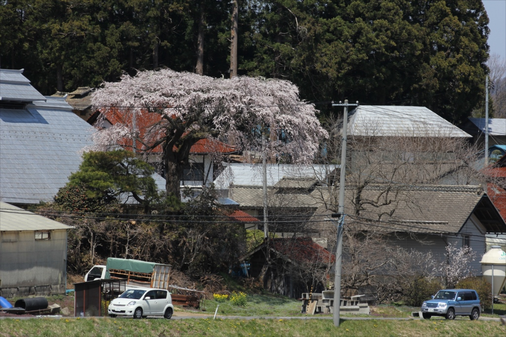 紅しだれ桜のようだ_1