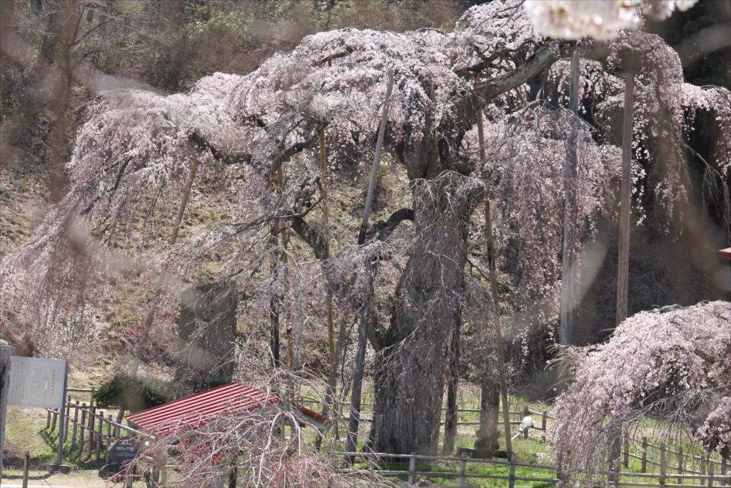 樹齢約400年の大木(福島県の天然記念物)_1
