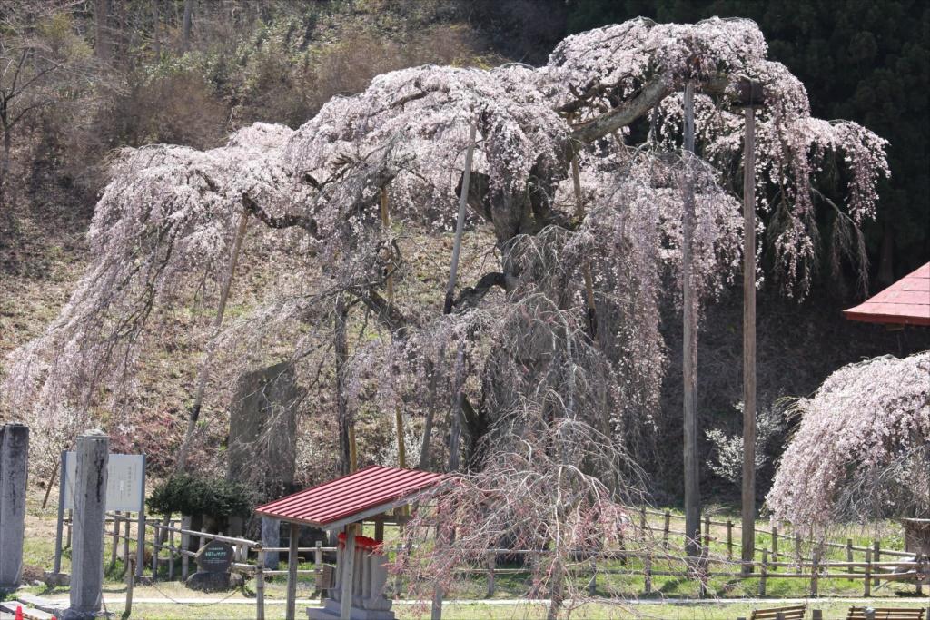 樹齢約400年の大木(福島県の天然記念物)_3