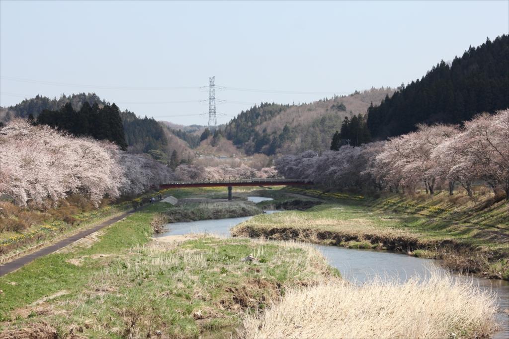 夏井千本桜_12