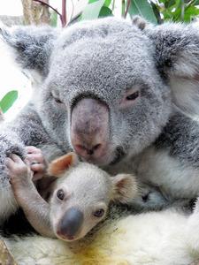 ライチと赤ちゃんコアラ