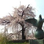 円山公園のさくら