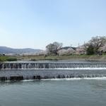 加茂川の川辺と桜の風景