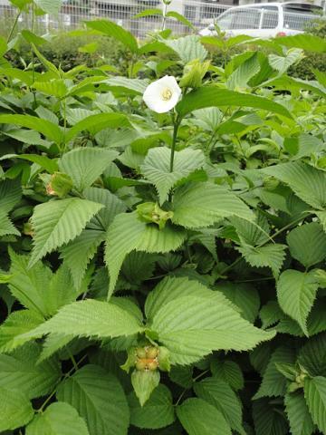 白山吹の花と実