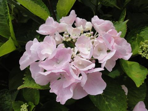 出先の花壇のアジサイ