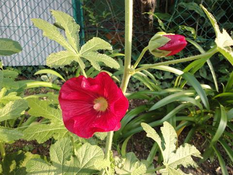 うちの花壇のタチアオイ②咲き出しました