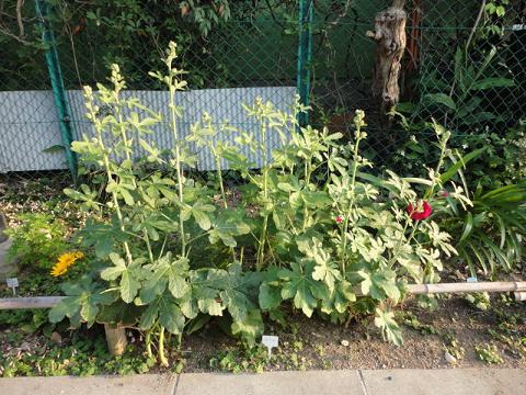 うちの花壇のタチアオイ①