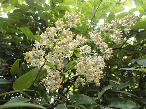 やっと咲いたナンテンの花