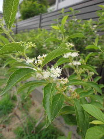 シロシキブの花①