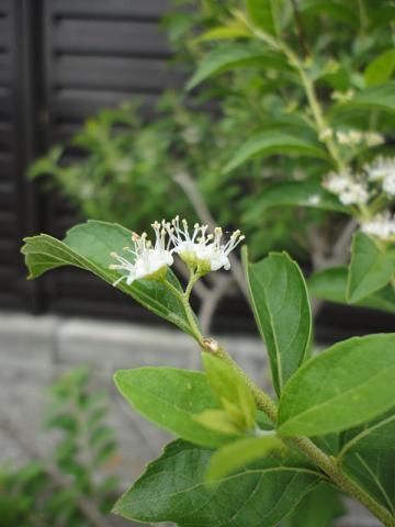 シロシキブの花②