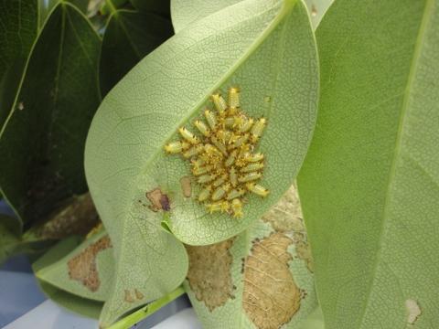 今日退治したヒロヘリアオイラガの幼虫②