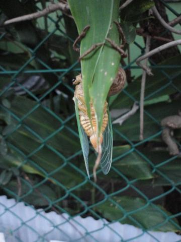 蝉の脱皮②