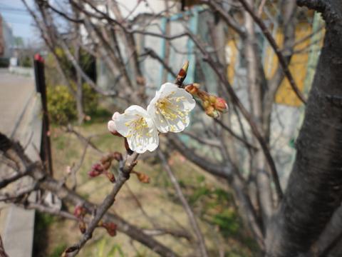 サクランボの木も咲いた