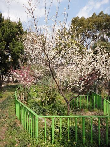 公園の中央部の梅①