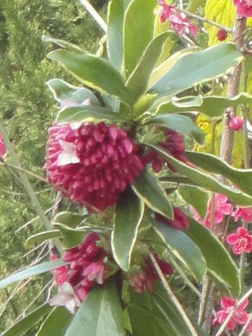 公園の沈丁花④