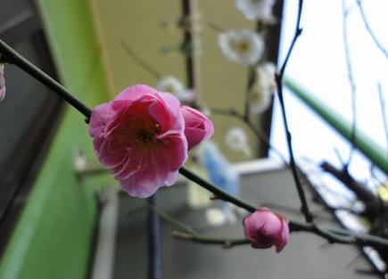 やっと咲いた濃いピンク①
