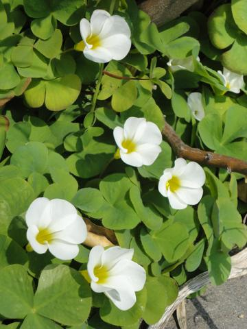 17日の白花オキザリス