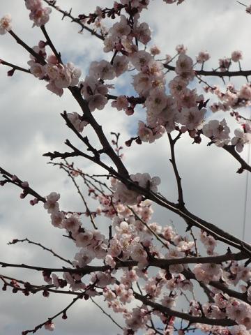 早咲きの桜???①