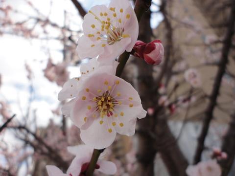 早咲きの桜???②