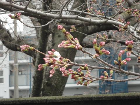 近くの会社の桜