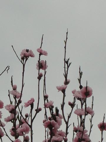 斜め向かいの桃②