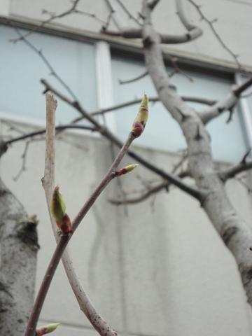 ハンカチノキの芽