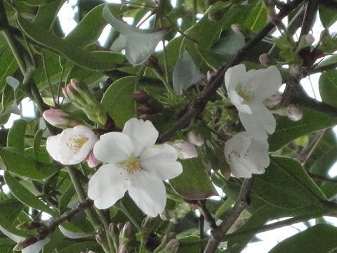 うちの敷地の桜①
