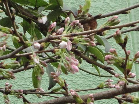 うちの敷地の桜②