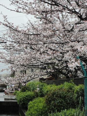 近所の会社の桜