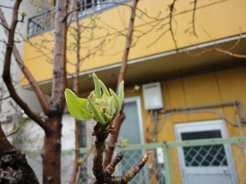 姫リンゴの芽