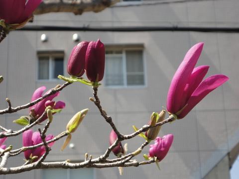 近所の中では遅い紫モクレン
