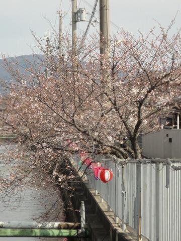 用水路沿いの桜並木