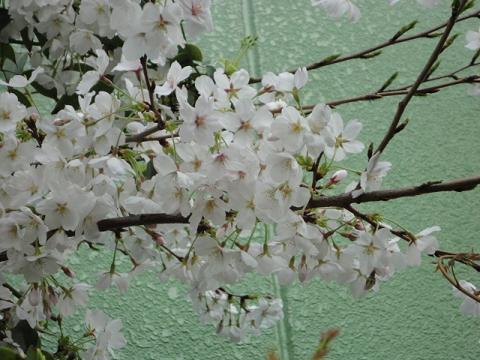 うちの桜は9分咲き