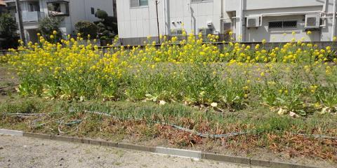 菜の花畑では