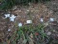 ハナニラの花が増えました