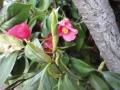 椿の新芽①