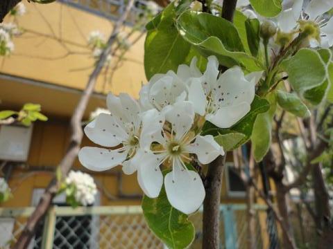 姫リンゴの花①