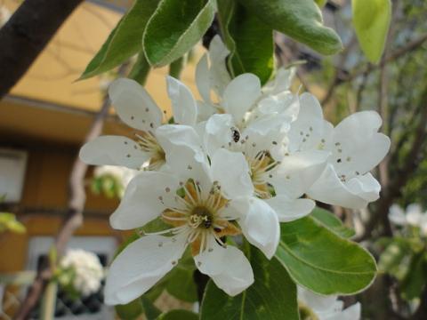 姫リンゴの花②