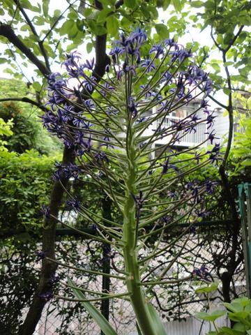 シラーペルビアナ紫①
