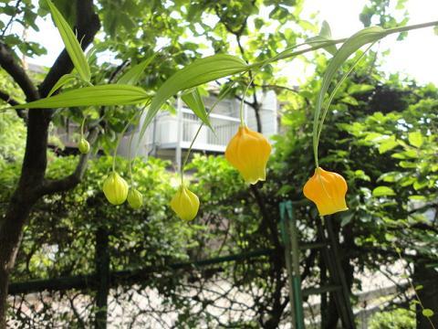 サンダーソニアが咲きました