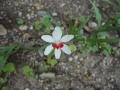 先日判明したヒメオウギ(ヒメヒオウギ)がまた咲いています