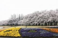 花のプロムナード_convert_20140410183819