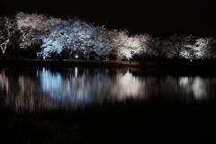 夜桜2_convert_20140410210950