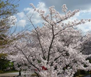 140405桜1