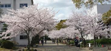 140405桜2