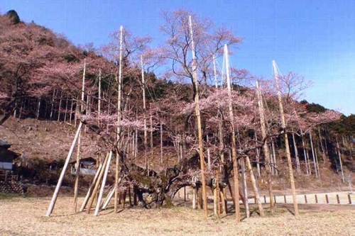 2014.4.1淡墨桜開花 (2)