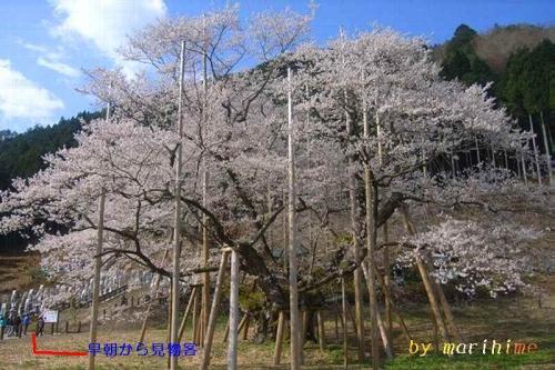 2014.4.7早朝の淡墨桜