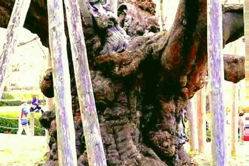 2014.4淡墨桜巨大な幹